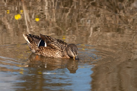 Wild duck swims in a spring pond. photo