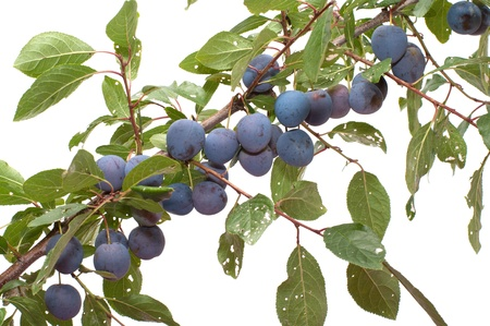Branch of a sloe with berries it is isolated on a white background.