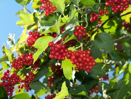 Ripe berries of a guelder-rose on a bush in the sunny autumn afternoon.
