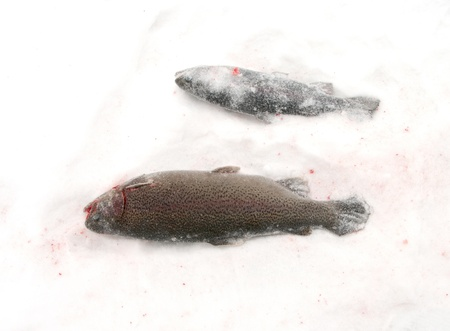 Catch of an rainbow trout on lake ice. photo
