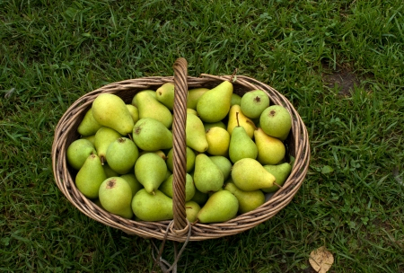 molly: Outdoors shot of wattled basket with ripe pears  Stock Photo