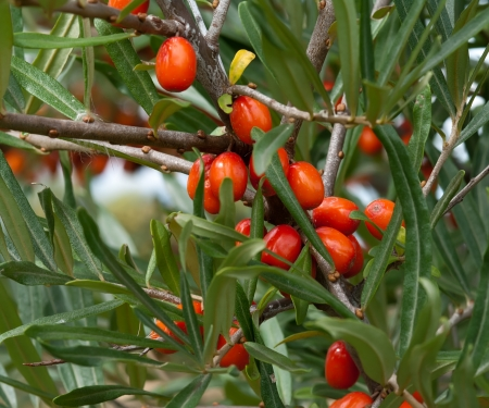 seabuckthorn: Close up shot of ripe sea-buckthorn berries on a branch