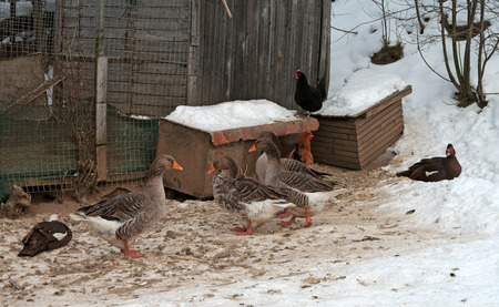 Gray geese in the open-air cage in the winter. photo