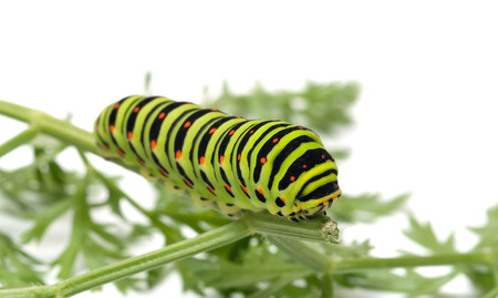 Swallowtail caterpillar on branch dill close-up shot. photo