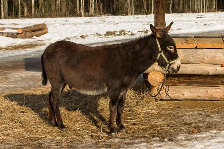 Portrait of a donkey shot sunny winter day. Stock Photo