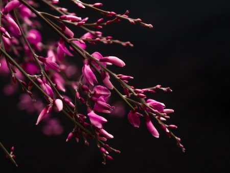 faboideae: Close up  of little genista pink flowers on black background Stock Photo