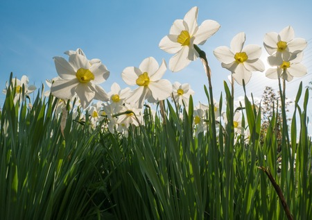 from below: spring Narcissus from below with sky background Stock Photo