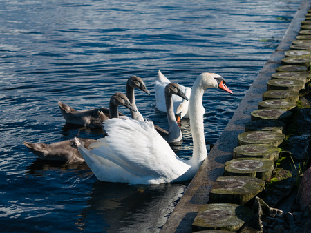 ugly duckling: White and Grey Swan family of five on blue water