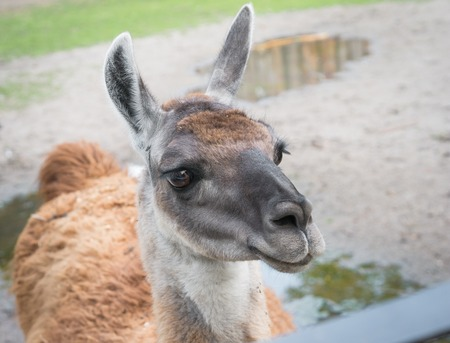 mendicant: close up of cute lama head in the zoo background Stock Photo