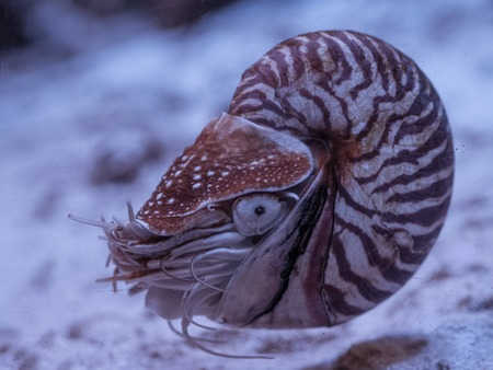 Nautilus pompilius close up in aquarium