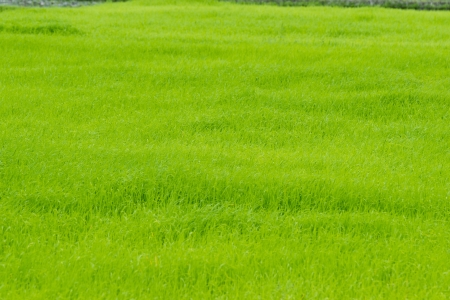 rice cultivation Stock Photo - 14337855