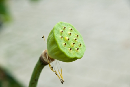 lotus seeds: Lotus seeds Species flower  Stock Photo