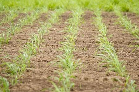 dearth: Crop farming  Stock Photo