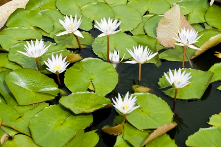 image of a lotus flower on the water  photo