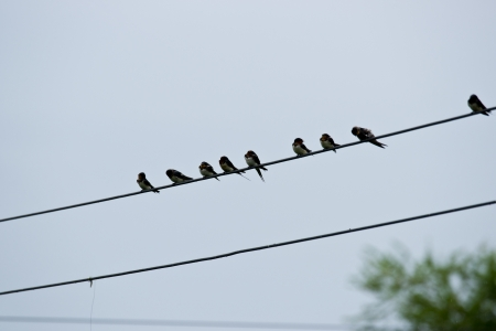 Swallows on the wires  photo