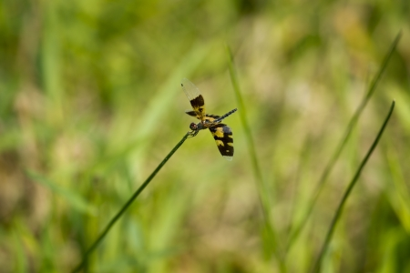 skimmer: A skimmer dragonfly