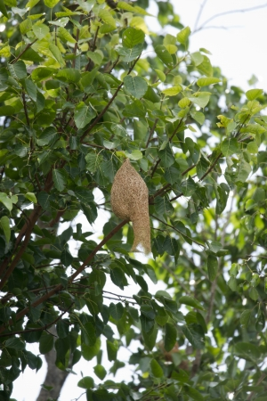Weaver bird nest  Stock Photo - 15109472