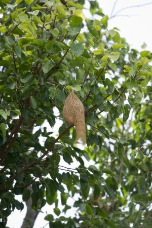 conservationist: Weaver bird nest