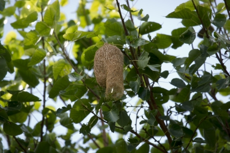 Weaver bird nest  Stock Photo - 15109348