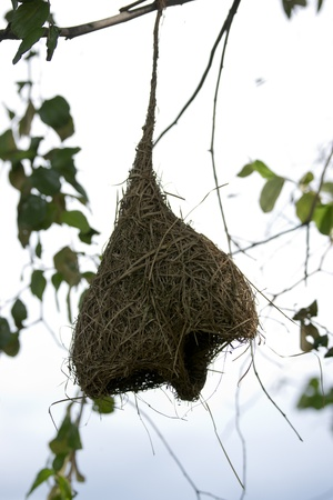 Weaver bird nest Stock Photo - 15109199