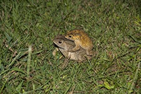 warts: common toad bufo bufo