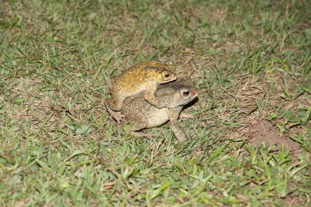 common toad bufo bufo  photo