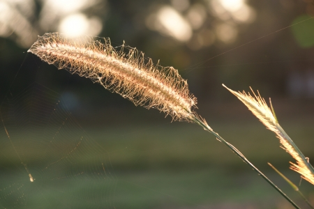 bristle: Bristle grass with water drops in autumn morning