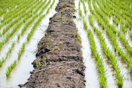 rice cultivation Stock Photo - 17741017