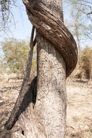 Vine around tree in Thailand forest  Imagens