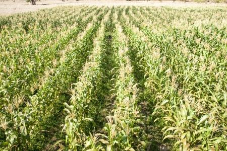 Green corn field growing up  photo