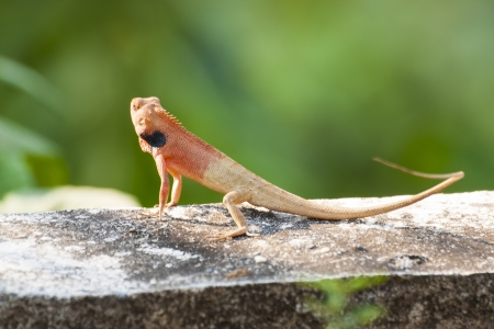 Small red lizards  Stock Photo
