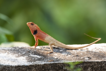 Small red lizards  photo