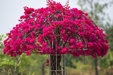 Typical Greek colorful garden flowers, bougainvilleas
