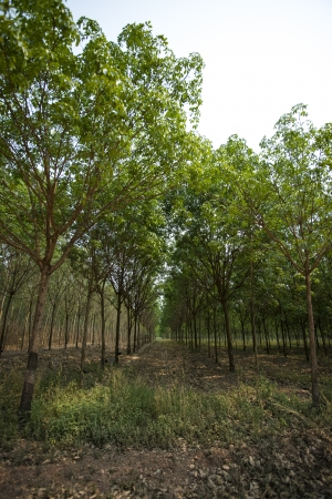 Rubber Plantation  photo