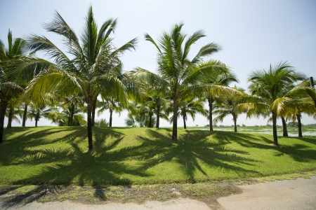 Coconut garden  photo