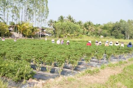 Pepper garden  photo