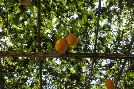 Sweet Gourd photo