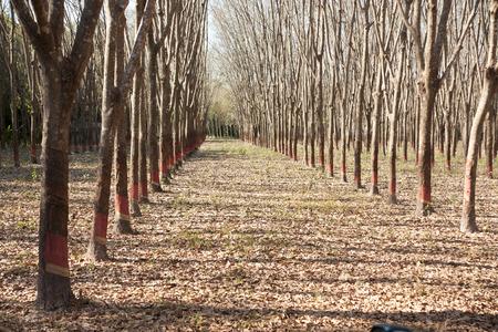 Rubber Plantation photo