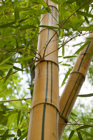 Leaning down bamboo to bend