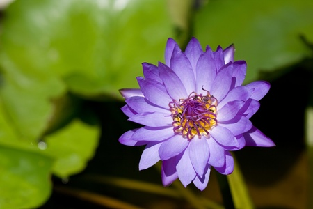 Violet Lotus on the River photo