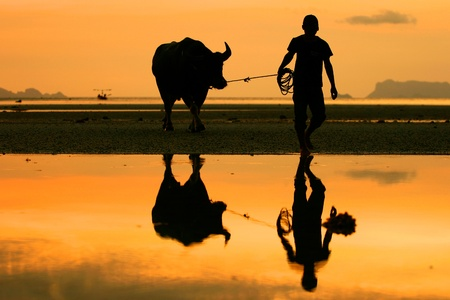 field of thai: buffalo walking on the beach at koh samui Stock Photo