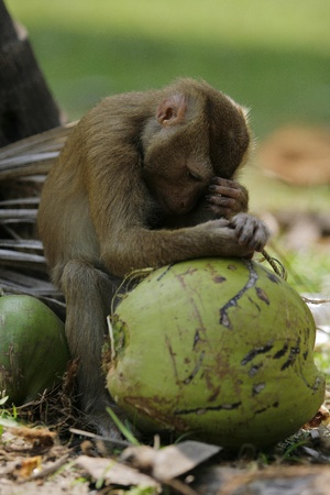 squirrel monkey: monkey sleeping on coconut at ko samui thailand