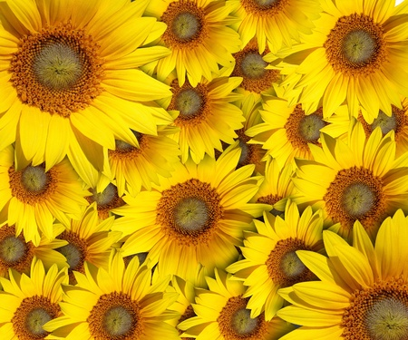 sunflower with background photo