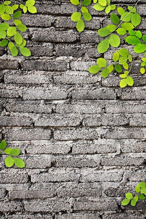Old wall Texture with leaves use for background photo