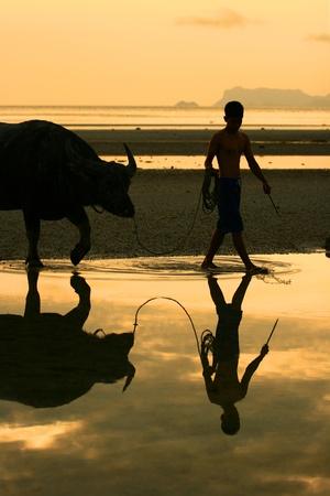 water buffalo: Tug Buffalo on the beach in ko samui thailand