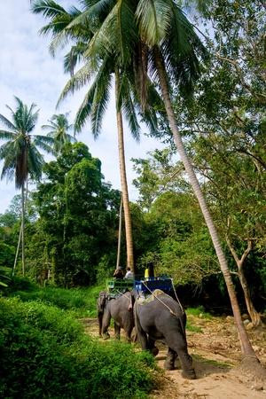 phuket province: Trip on elephants on jungle on Koh Samui in Thailand