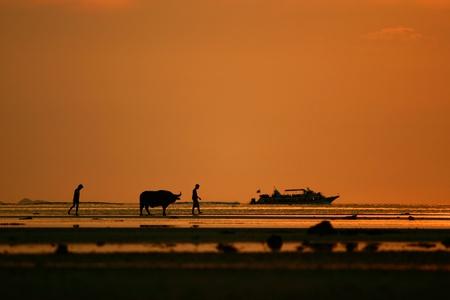 water buffalo: buffalo walking on the beach