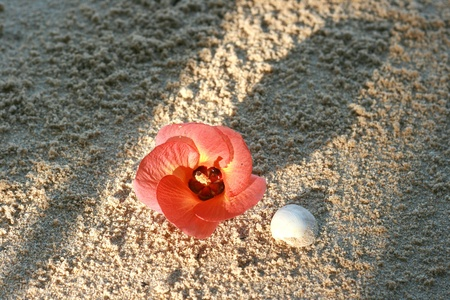 land shell: Flower with shell on the sand near the beach and sunrise Stock Photo