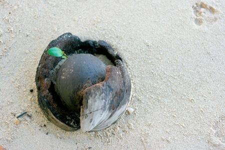 coconut seedlings: New born on sand near the beach