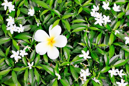 ornamental horticulture: White flower in the Garden